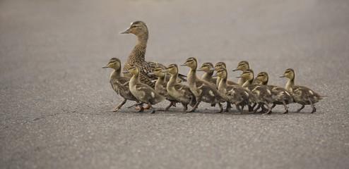 Mama Duck and twelve ducklings crossing the street