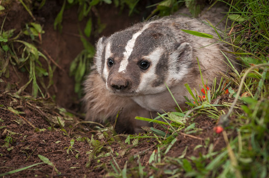 North American Badger (Taxidea taxus) Peers Out From Den