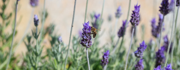 Bee collecting pollen from a lavender flower
