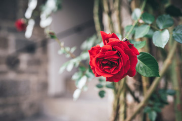 Beautiful red rose. Vintage colors image.