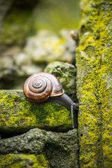 Macro shot of a snail on a mossy stone wall