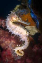 Thorny / Spiny seahorse - Hippocampus histrix