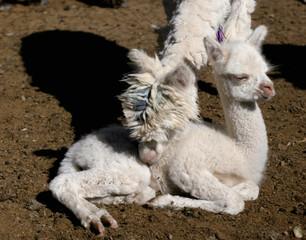 Alpaca cleans her baby in Salinas