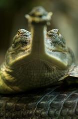 Waiting gavial, small crocodile looking at camera.