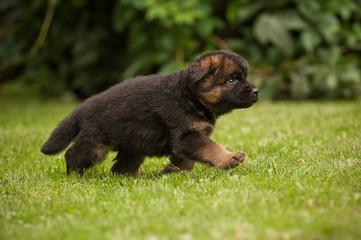 Walking cute german shepherd puppy