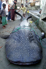 Bangladeshis look at a whale shark caught in the Bay of Bengal at Cox's Bazaar fishing harbour.