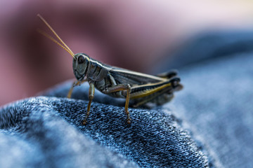 Close up macro shot of a grasshopper on fabric with blurry background