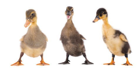 Three duckling standing isolated on white background
