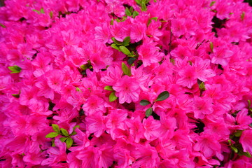 Pink azalea flowers on a bush in the spring garden