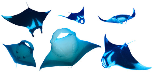 Manta Rays isolated on white background