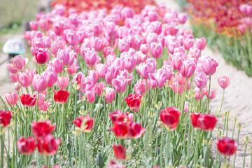 赤とピンクのチューリップ畑