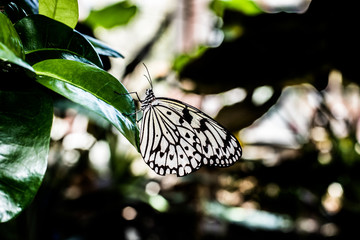 Paper Kite Black & White Tropical Butterfly