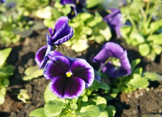 Papiers peints Pansies Pansy or Viola flowers (purple)