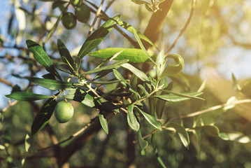 Fresh green olive fruit on branch