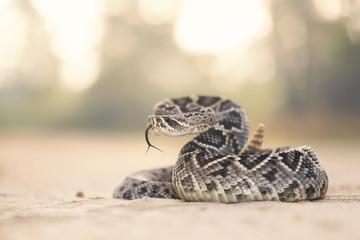 Eastern diamondback rattlesnake (Crotalus adamanteus) portrait in the wild