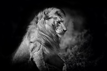 Black and white portrait of an amazing Lion in the Serengeti National Park, Tanzania