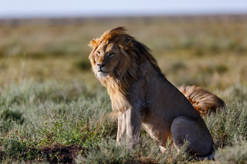 Wall Mural - Lion with a beautiful mane looking in the savannah of the Serengeti Nationalpark Park in Tanzania