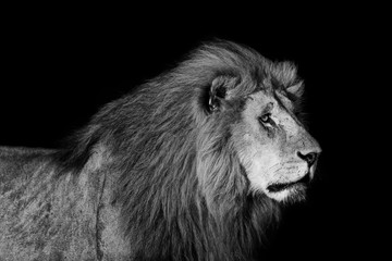 Portrait of big Lion Romeo 2 of Double Cross Pride in Masai Mara with black background