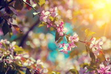 Vintage blossoming orchard. Branches with cherry flowers at sunset.