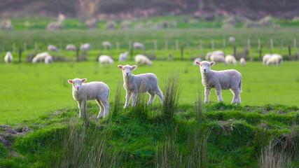 Schafweide bei Marokopa in Neuseeland (New Zealand)