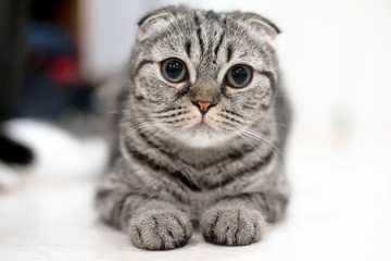 Portrait of brown-eyed cat isolated on the floor,  Cat sleeping on the ground And pondering the past stories in life, the Cute cat sleeps, Scottish Fold.