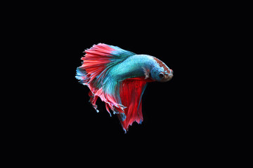 Blue fighting fish on a black background.