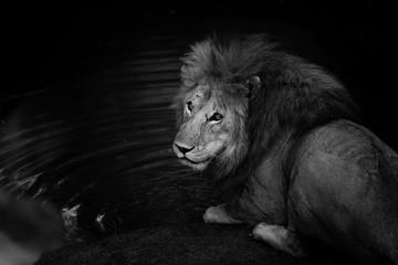 Wall Mural - Black and white portrait of wild Lion Romeo 2 in Masai Mara, Kenya