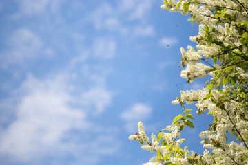 Bird cherry blossoms against the blue sky. background