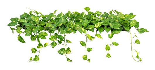 Heart shaped leaves vine golden pothos isolated on white background, clipping path included