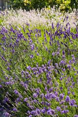Summer lavender garden border