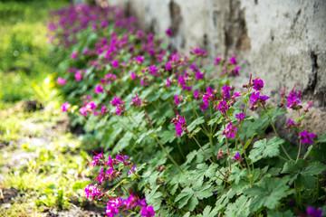 Geranium in a spring garden - selective focus, copy space