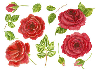 Red roses, rosebuds and leaves painted with watercolor. Elelments  for design.