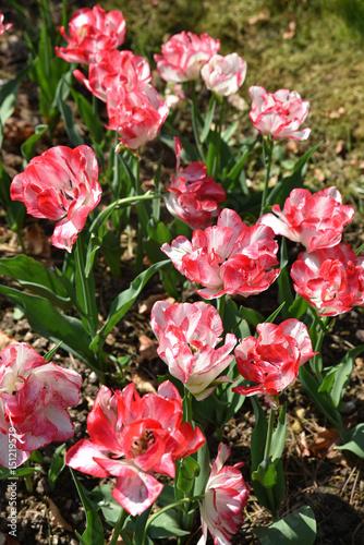 Tulipes Rose Et Blanc Au Printemps Au Jardin Stock Photo And