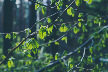 photo depicting a macro spring view of the nut tree brunch with fat green fresh lovely leaves buds. Wild hazel tree leaves, spring time, de focused, blurred forest on the background.