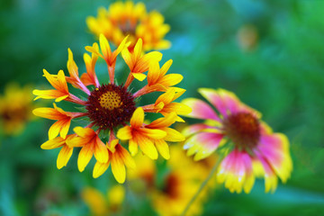 Bright flower with red and yellow petals. Garden flower on blurred green background
