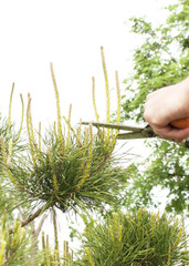 Pruning Plants Close Up. Professional Gardener Pruning conifers