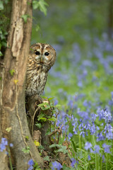 Wall Mural - Tawny Owl perched on branch in bluebell wood.