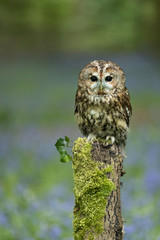 Wall Mural - Tawny Owl perched on fence post in bluebell wood.