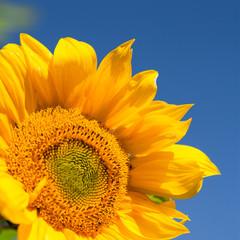Sunflower on blue sky background.