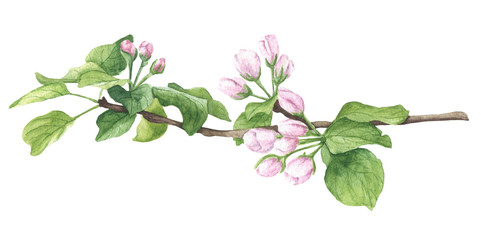 Hand drawn watercolor blossom, apple brunch with buds, green leaves and opening flowers. Floral botanical illustration, isolated on white background.