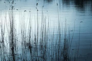 Coastal reed and still lake water