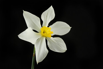 Photo sur cadre textile Fleur de lis White Daffodil against black