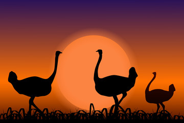 Ostriches in Africa. Black silhouettes on sunset background