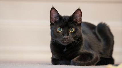 Little black kitten lies on the floor.