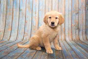 Golden Retriever on faded blue wooden background