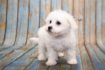 Bichon Frise on faded blue wooden background