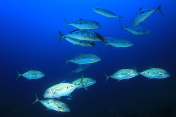 Tuna fish in ocean