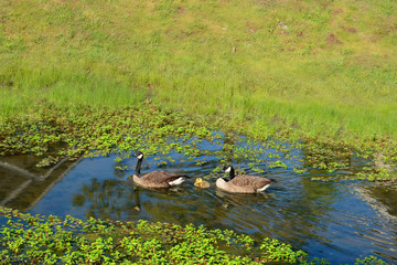 Canadian geese family with baby ducklings swimming in a stream,. Charlotte, North Carolina, USA.