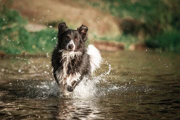 Border collie dog running in the water
