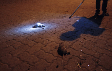 Dead rats lie on the ground as Sabbir Sheikh holding an improvised stick searches for more rats in Mumbai